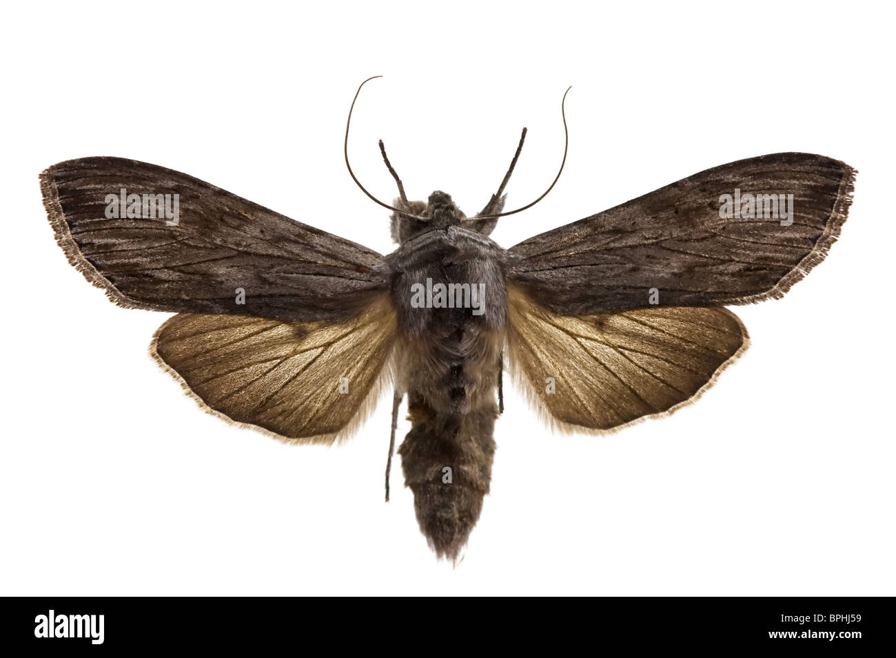 Shark Moth isolated on white. - Stock Image
