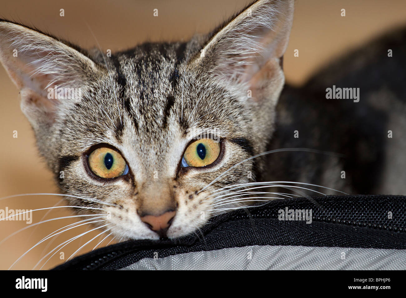 Cute but naughty Mackerel Tabby kitten biting a bag with a defiant facial expression. Stock Photo
