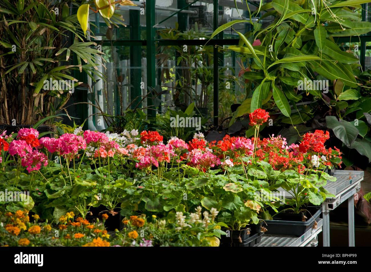 Flowers In Greenhouse Nursery - Stock Image