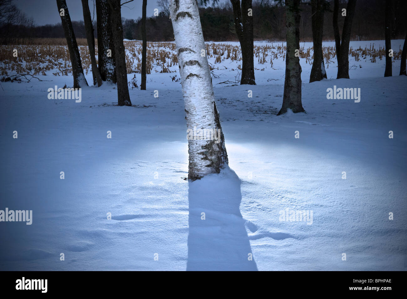 White Birch Tree With Light At Night In Winter, Michigan, USA - Stock Image