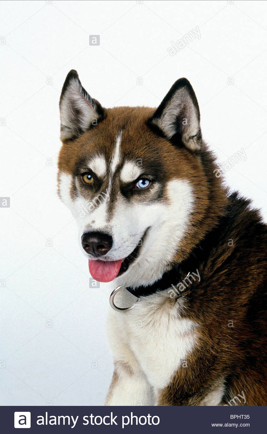 DIESEL THE DOG SNOW DOGS; (2002) - Stock Image