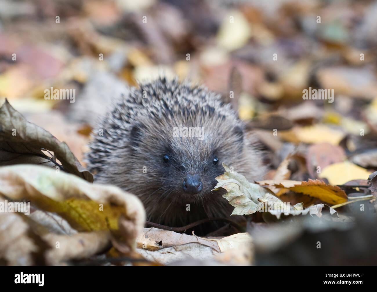 Hedgehog Erinaceus europaeus in woodland Norfolk UK autumn - Stock Image