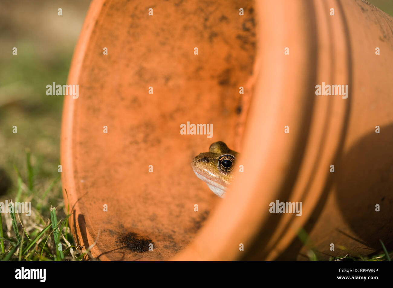 Common Frog Rana temporaria in flower pot in garden Norfolk UK autumn Stock Photo