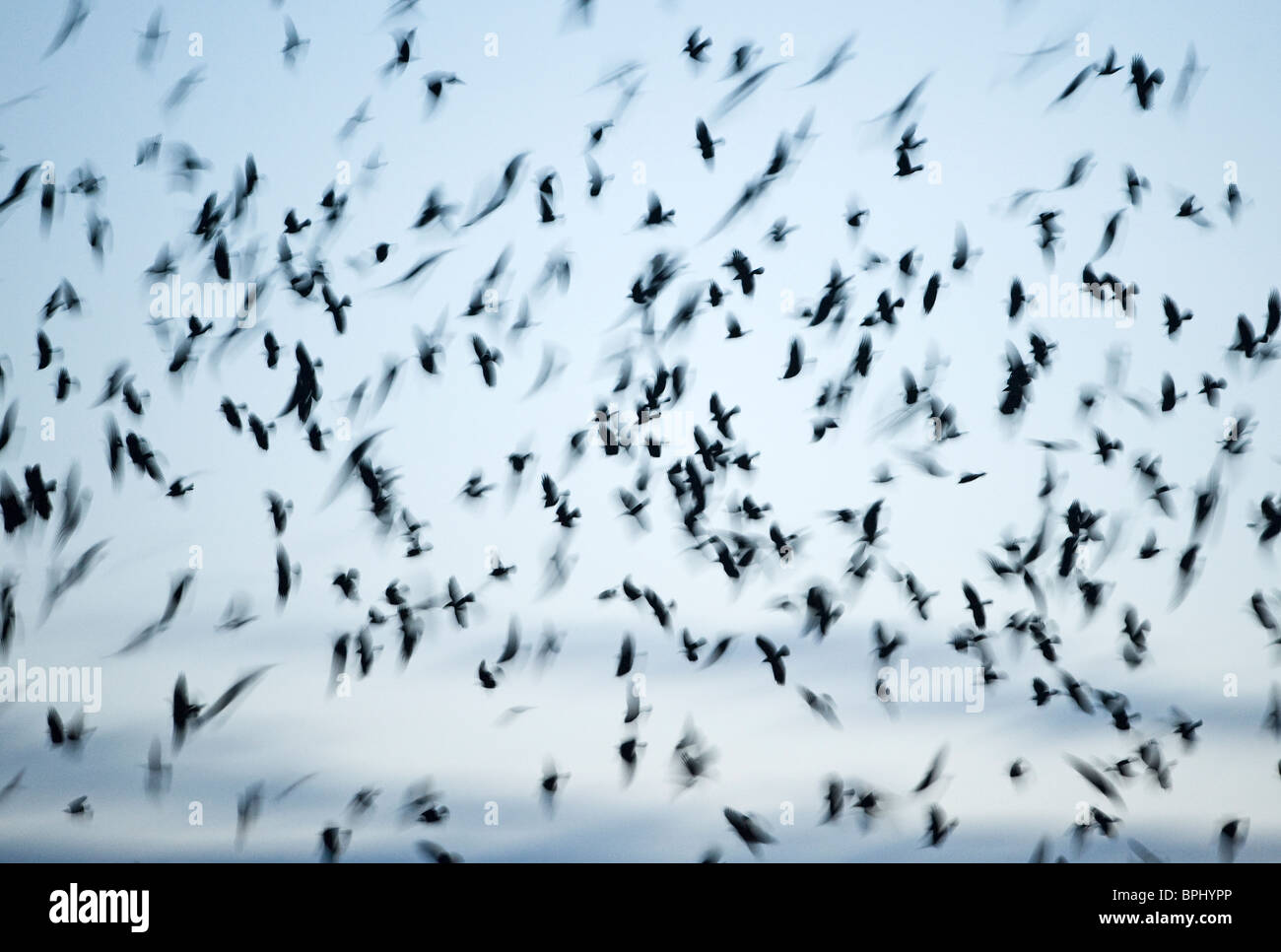 Crows mainly Rooks and Jackdaws arriving at roost Buckenham in Yare Valley Norfolk winter - Stock Image