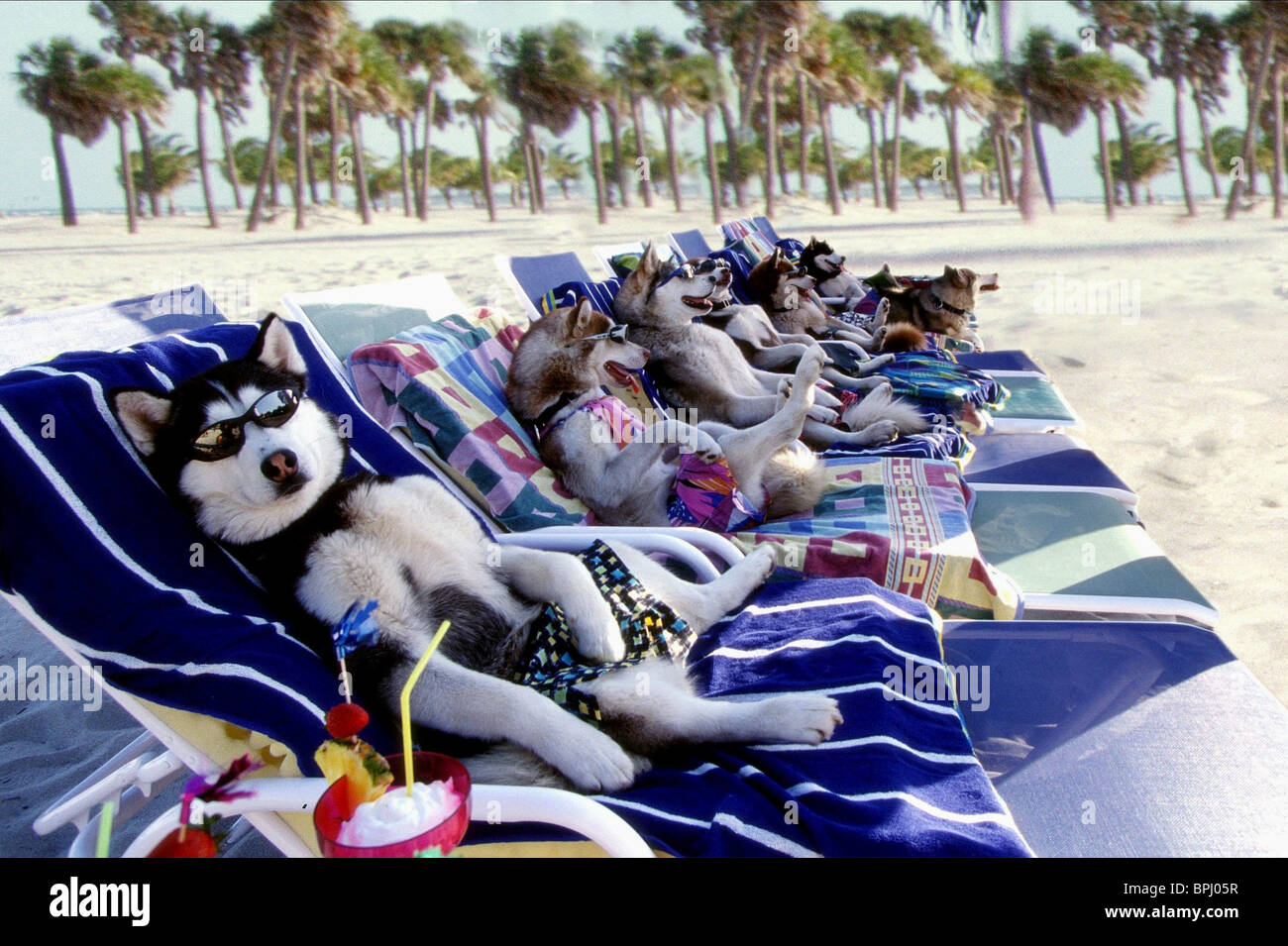 DOGS LAY ON SUN LOUNGERS SNOW DOGS; (2002) - Stock Image