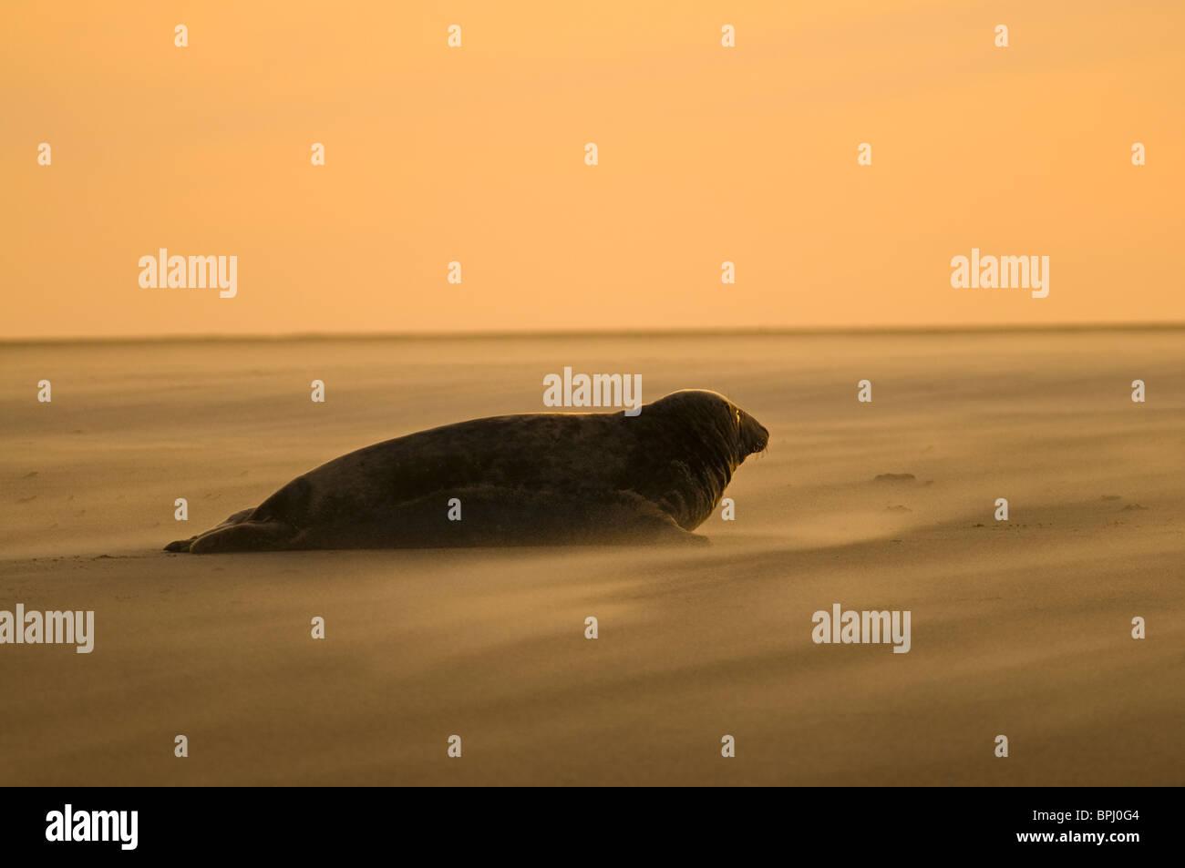 Grey Seal Halichoerus grypus on beach Blakeney Point Norfolk November - Stock Image