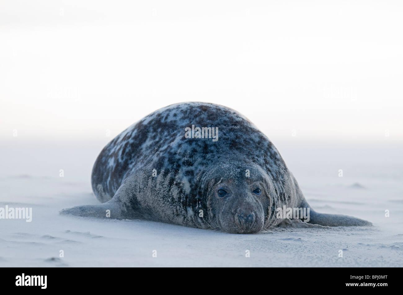 Grey Seal Halichoerus grypus on beach Blakeney Point Norfolk November Stock Photo