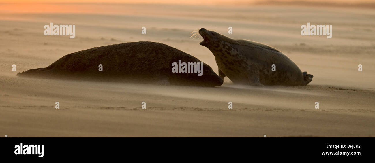 Grey Seals Halichoerus grypus bull and female on beach Blakeney Point Norfolk November Stock Photo
