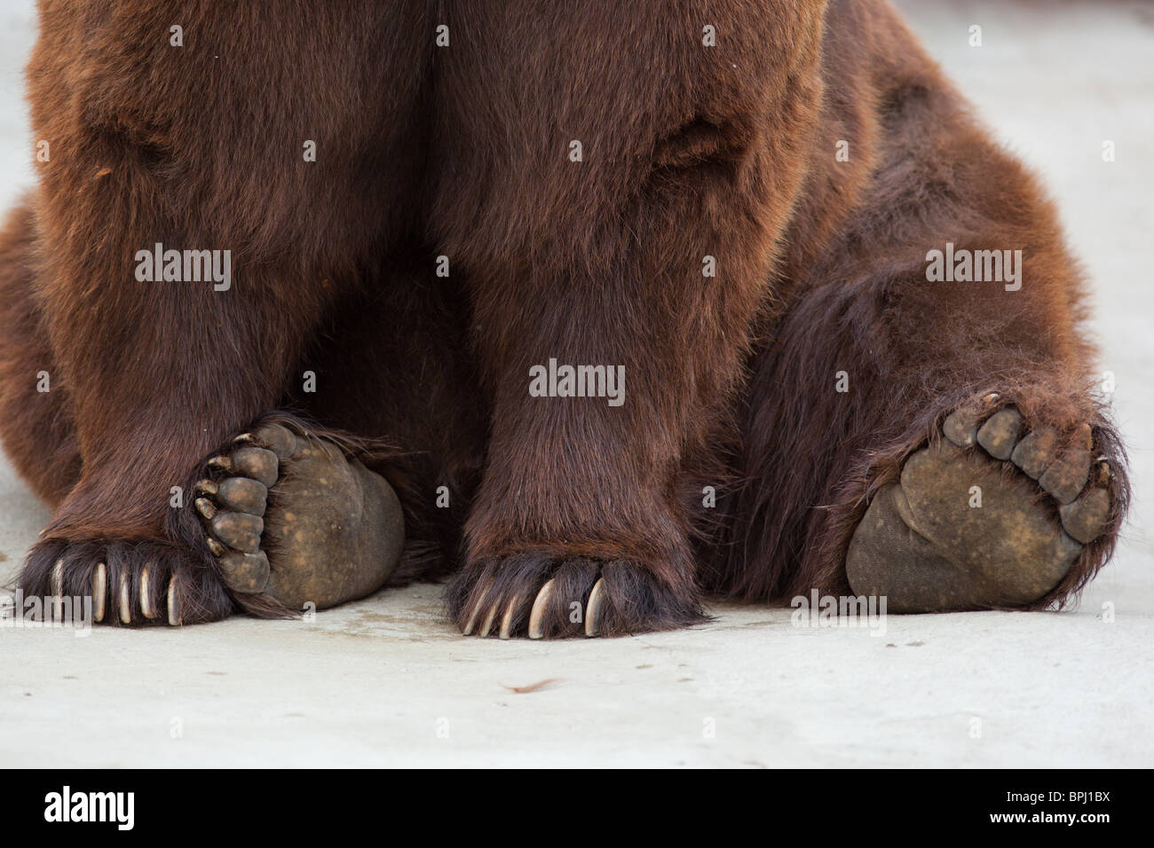 About bear paws