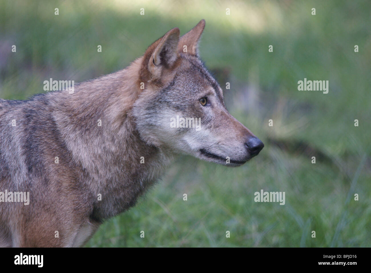 European Grey Wolf (Canis lupus) Stock Photo