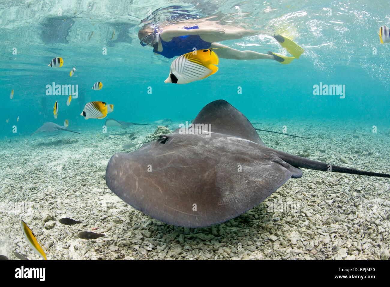 Lagoon safari trip to snorkel with marinelife - stingrays , - Stock Image