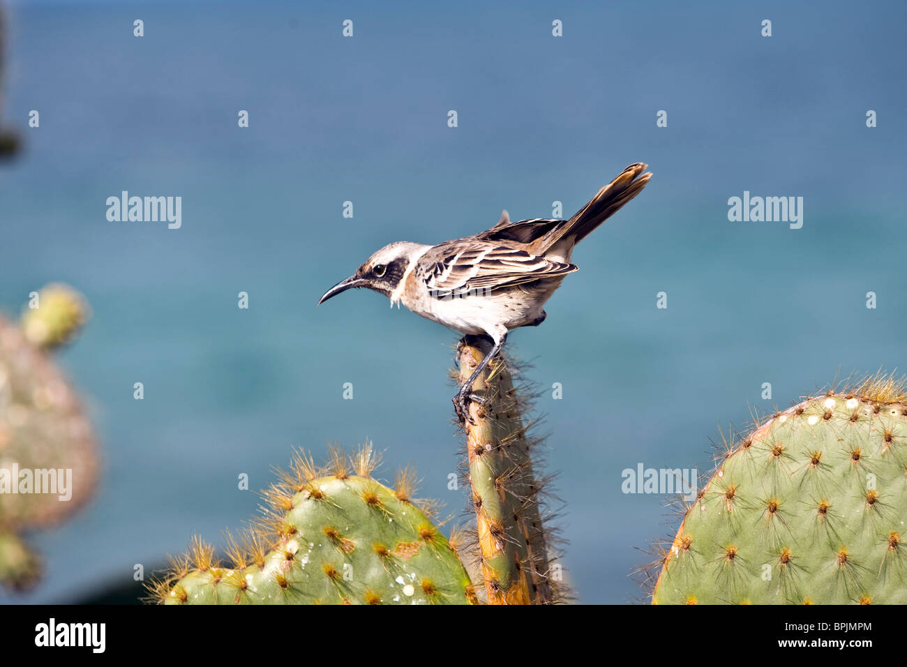 South America, Ecuador, Galapagos Islands, Chatham Mockingbird perched on Cactus on San Cristobal Island - Stock Image