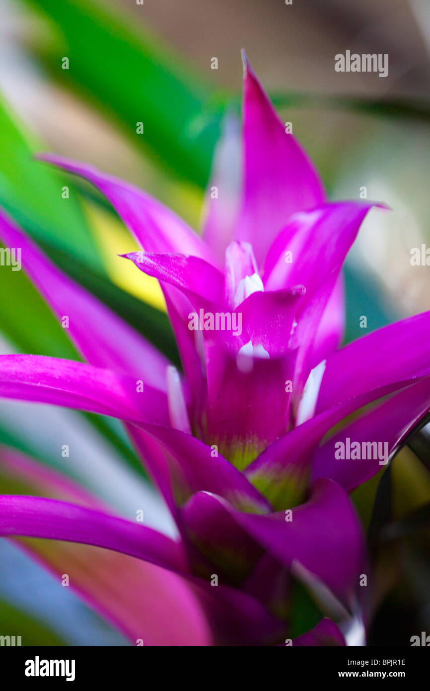 Orchid, Hilo Orchid Show, Island of Hawaii - Stock Image