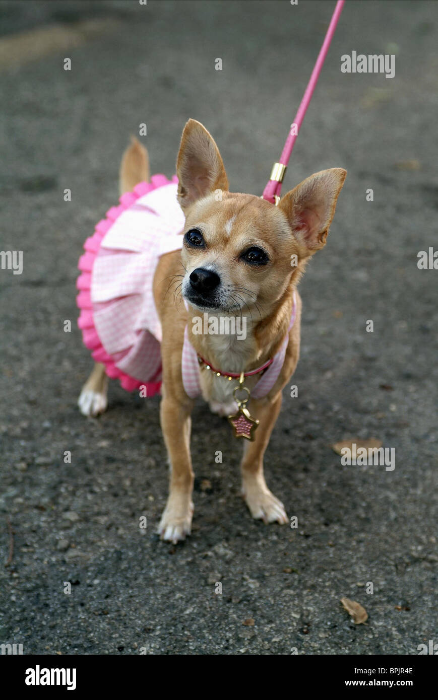 BRUISER THE DOG LEGALLY BLONDE 2: RED WHITE & BLONDE (2003) - Stock Image