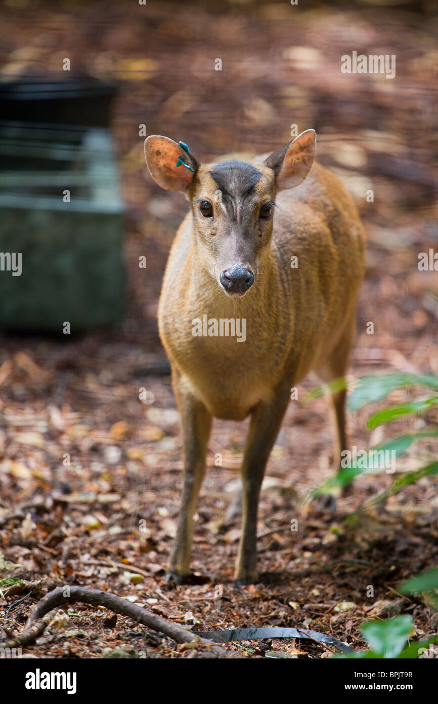 Reeves Muntjac Deer in captivity.  The blur is the fence. - Stock Image