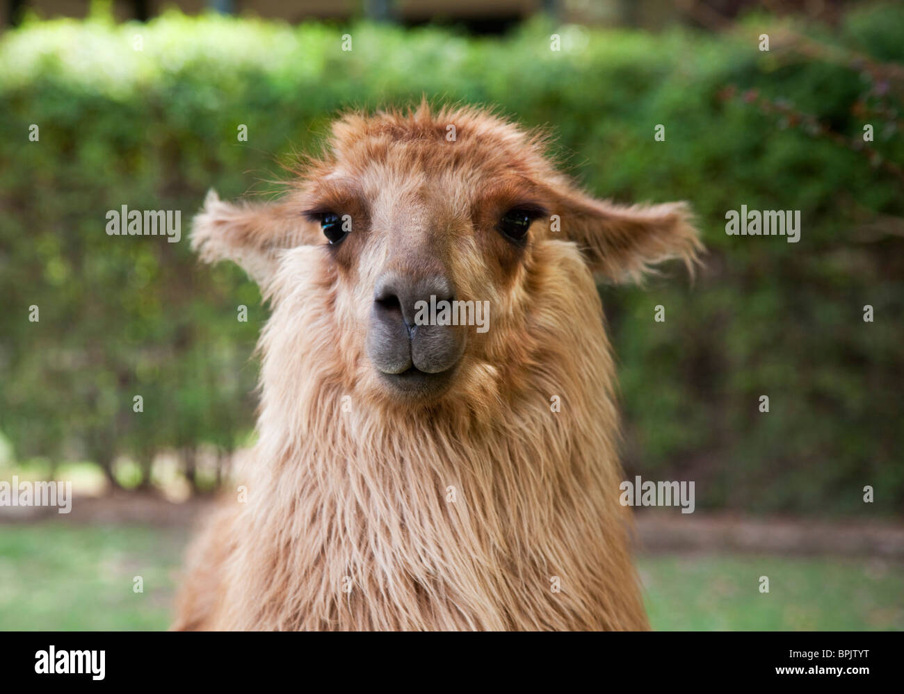 South America, Argentina, Mendoza. Portrait of a llama at Club Tapiz. - Stock Image