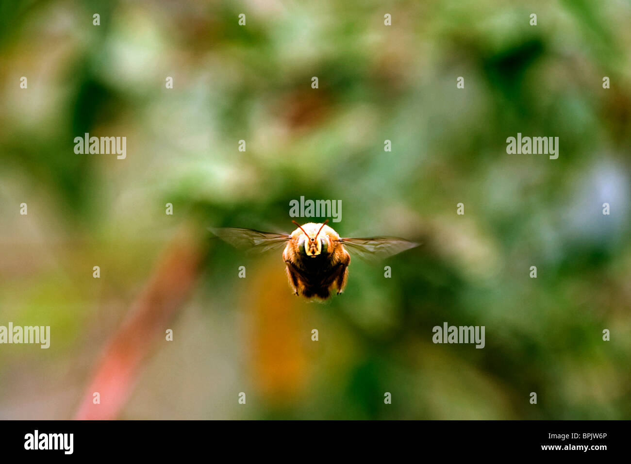South America, Ecuador, Galapagos Islands, Isabella Island, Large Stingless Bee flying - Stock Image