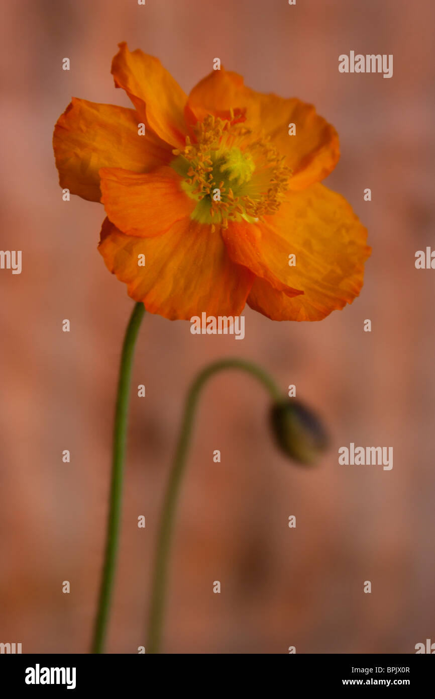 wildflower wild flower colorful colourful poppy orange yellow - Stock Image