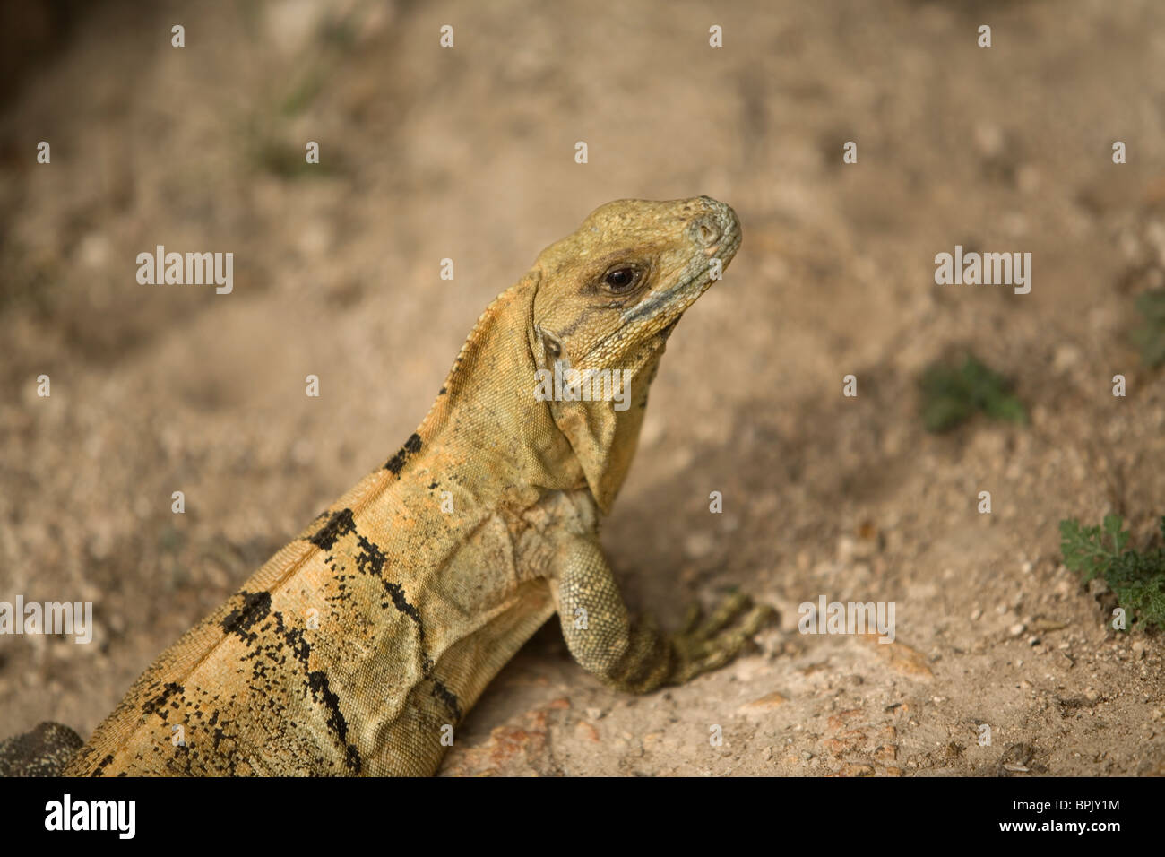 """An iguana rests in the Mayan ruins of Kabah, along the """"Puuc route,"""" in Yucatan state on Mexico's Yucatan peninsula Stock Photo"""