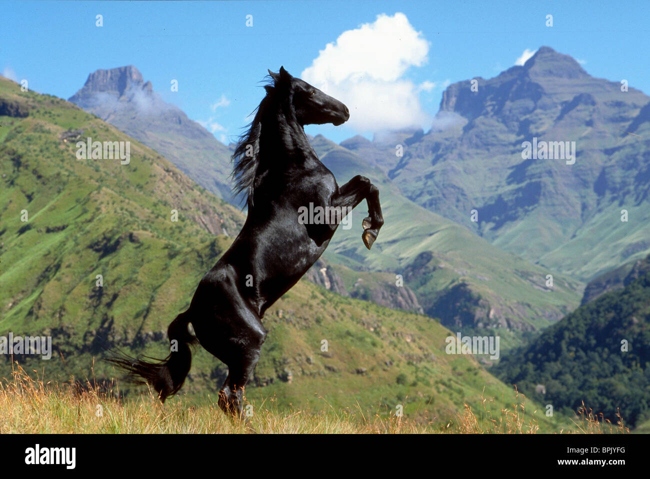 THE BLACK STALLION THE YOUNG BLACK STALLION (2003) - Stock Image