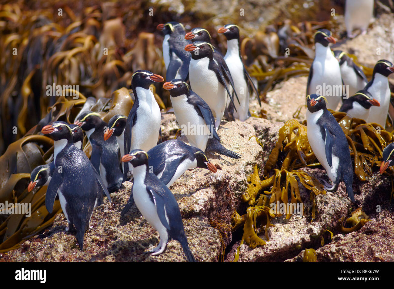 Snares Penguins gathering on the rocks - Stock Image