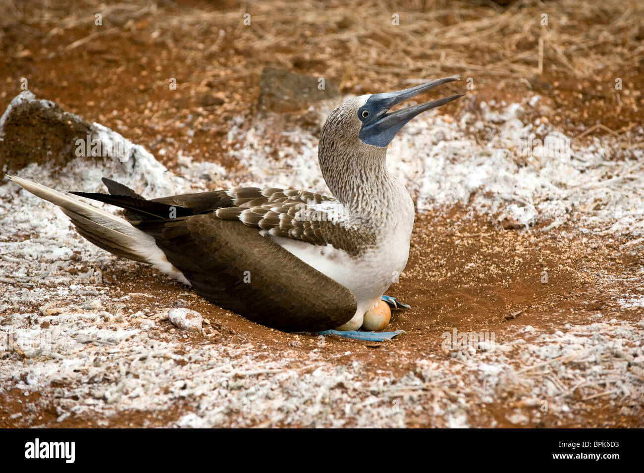 South America, Ecuador, Galapagos Islands, Blue-footed Booby, incubating eggs at nest on North Seymour Island - Stock Image