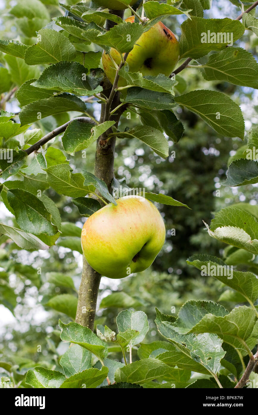 A Giant cooking Apple on a Branch - Stock Image