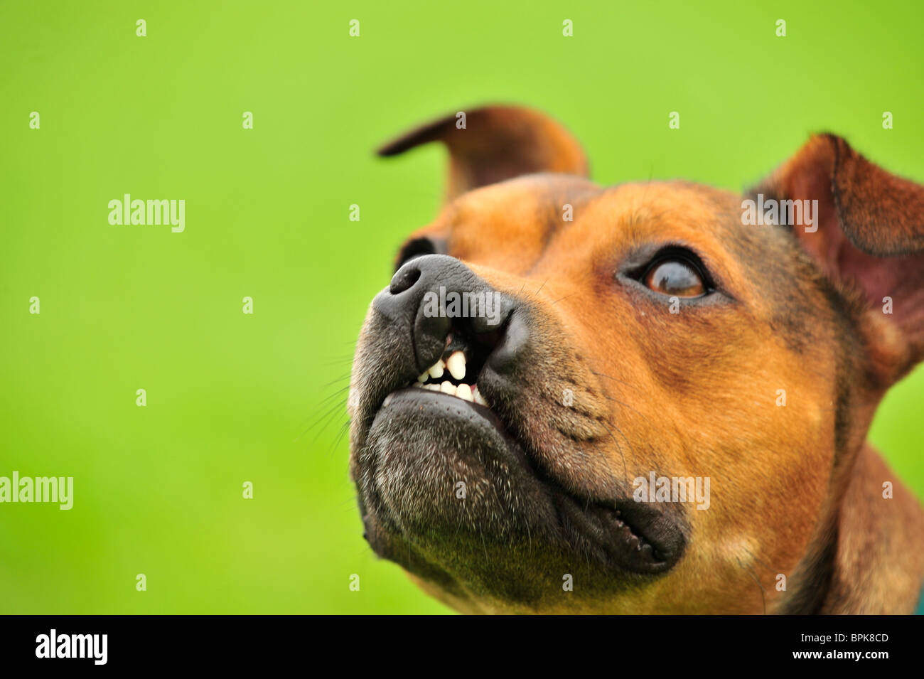 hare lip in a staffordshire bull terrier dog - Stock Image