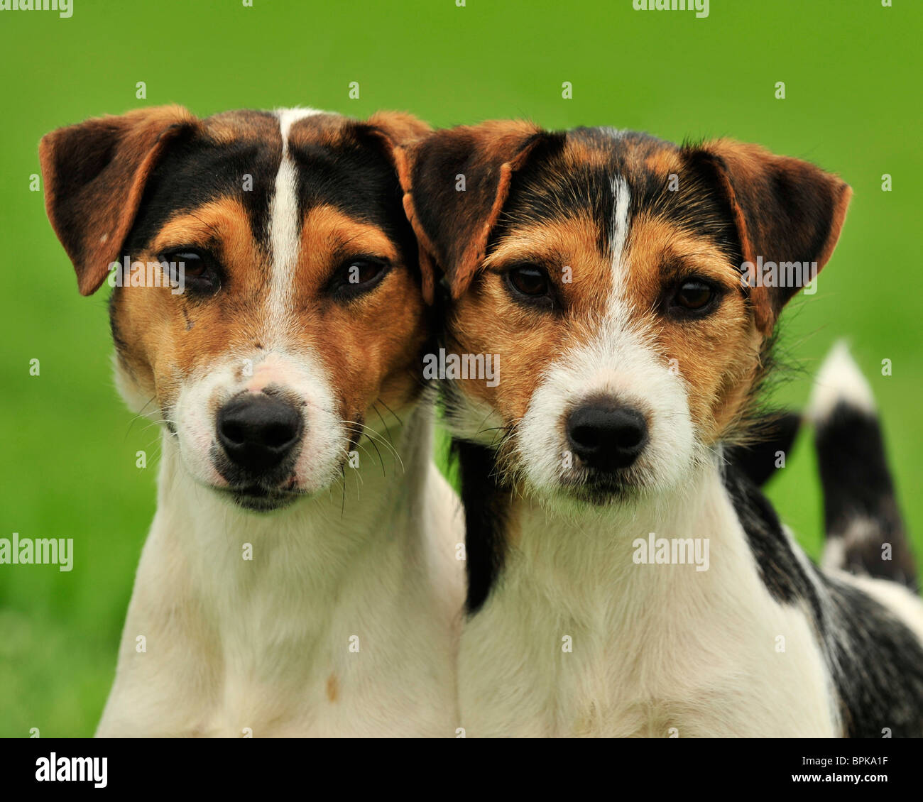 jack russell terrier dogs - Stock Image