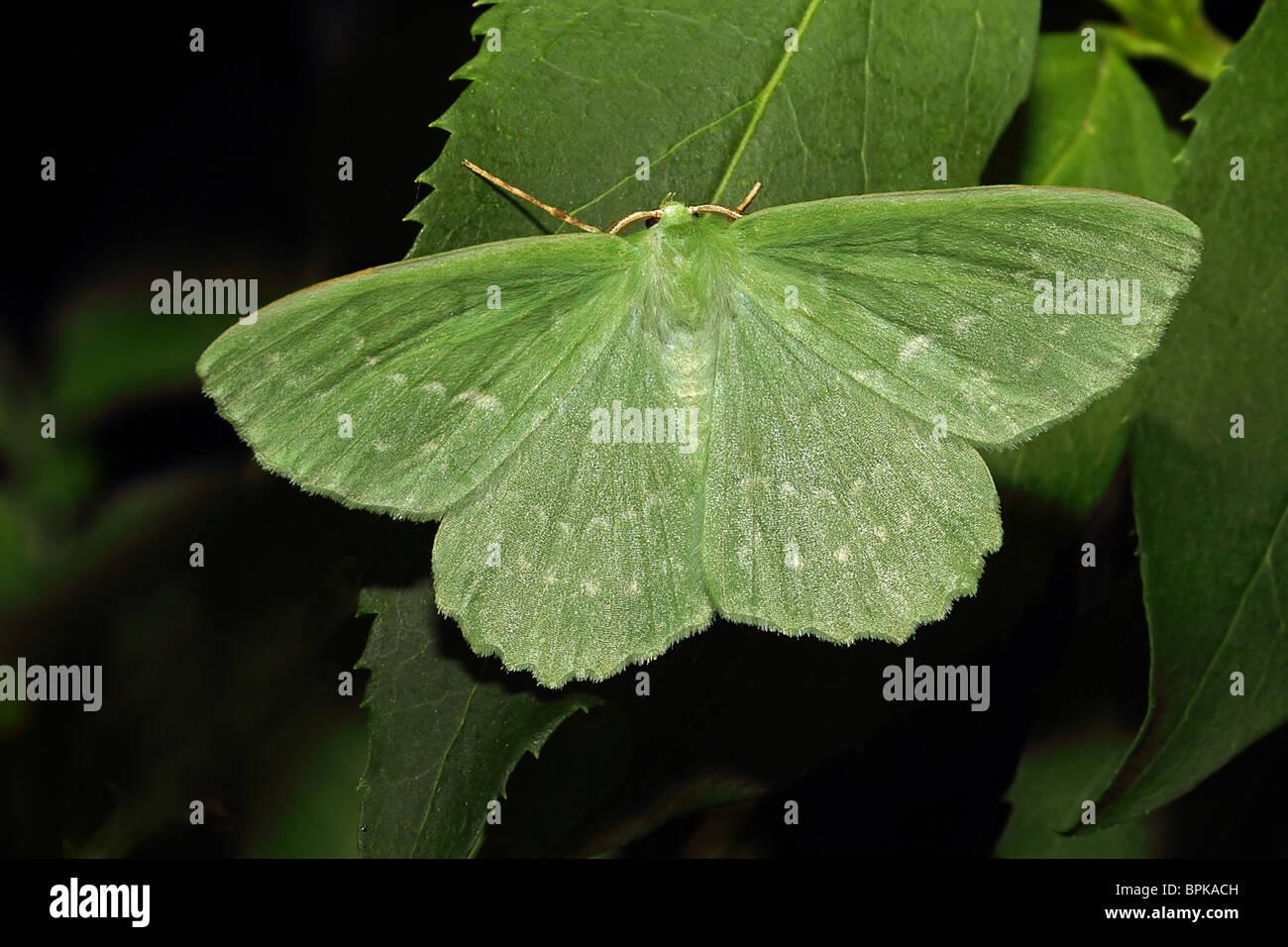 Large Emerald Moth Geometra papilionaria - Stock Image
