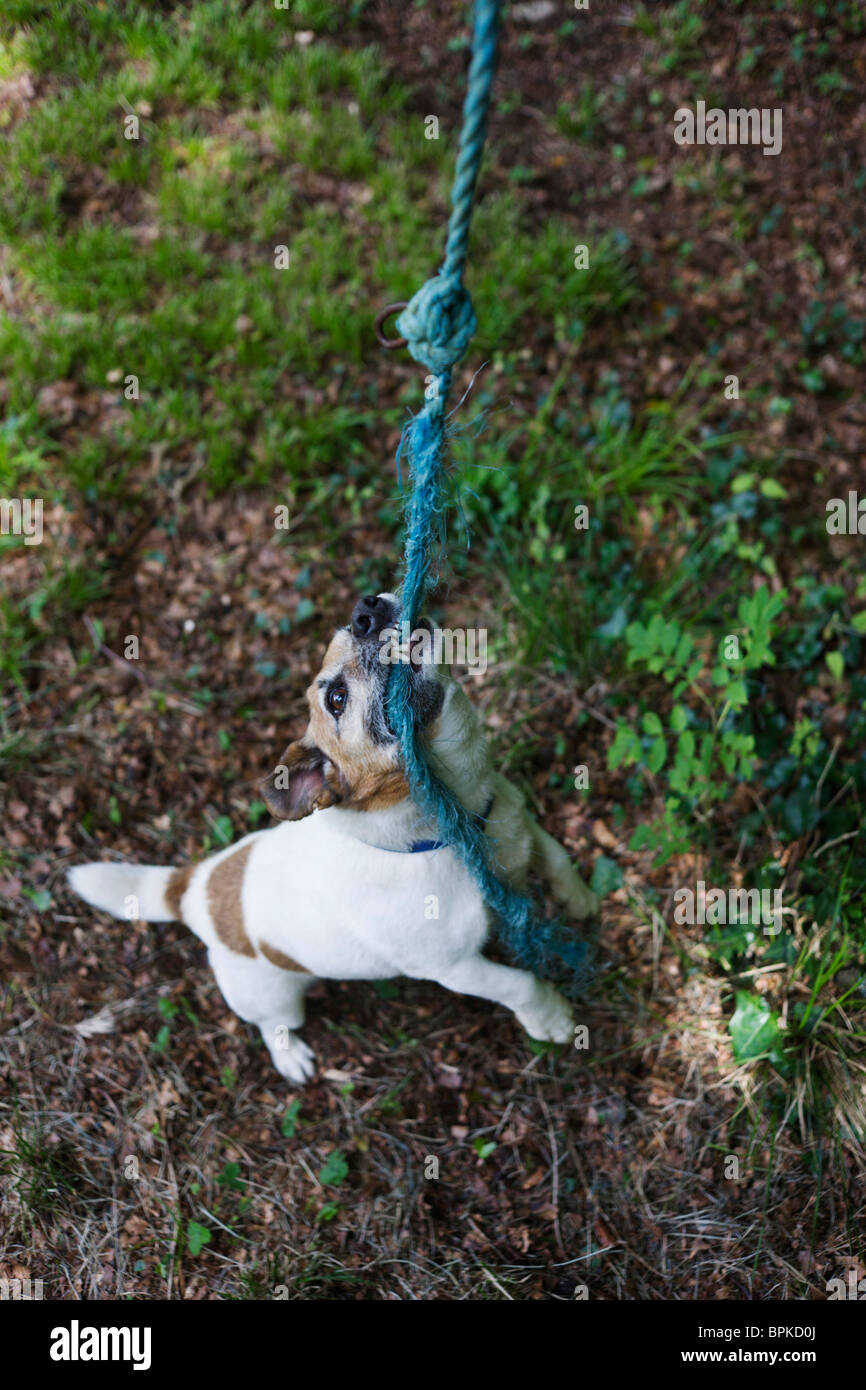 Pet Terrier dog plays harmlessly at biting frayed rope in a home garden. - Stock Image