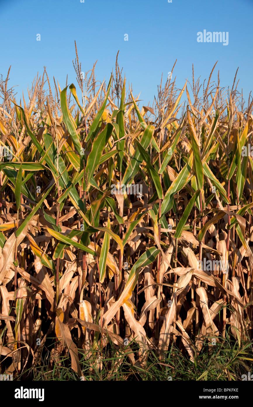 Field Corn Late Summer Michigan USA - Stock Image