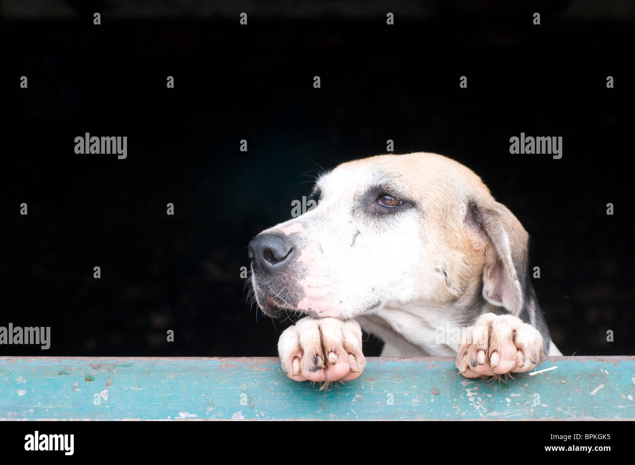 A single fox hound looking over stable door. - Stock Image