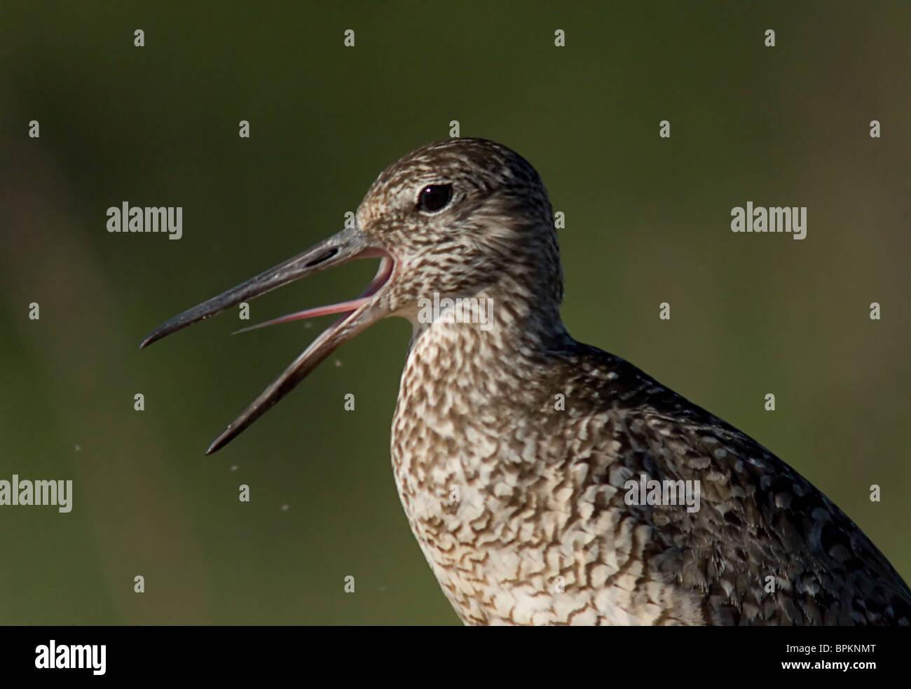 Willet tells the photographer what he thinks of his intrusion.  Catoptrophorus semipalmatus semipalmatus - Stock Image