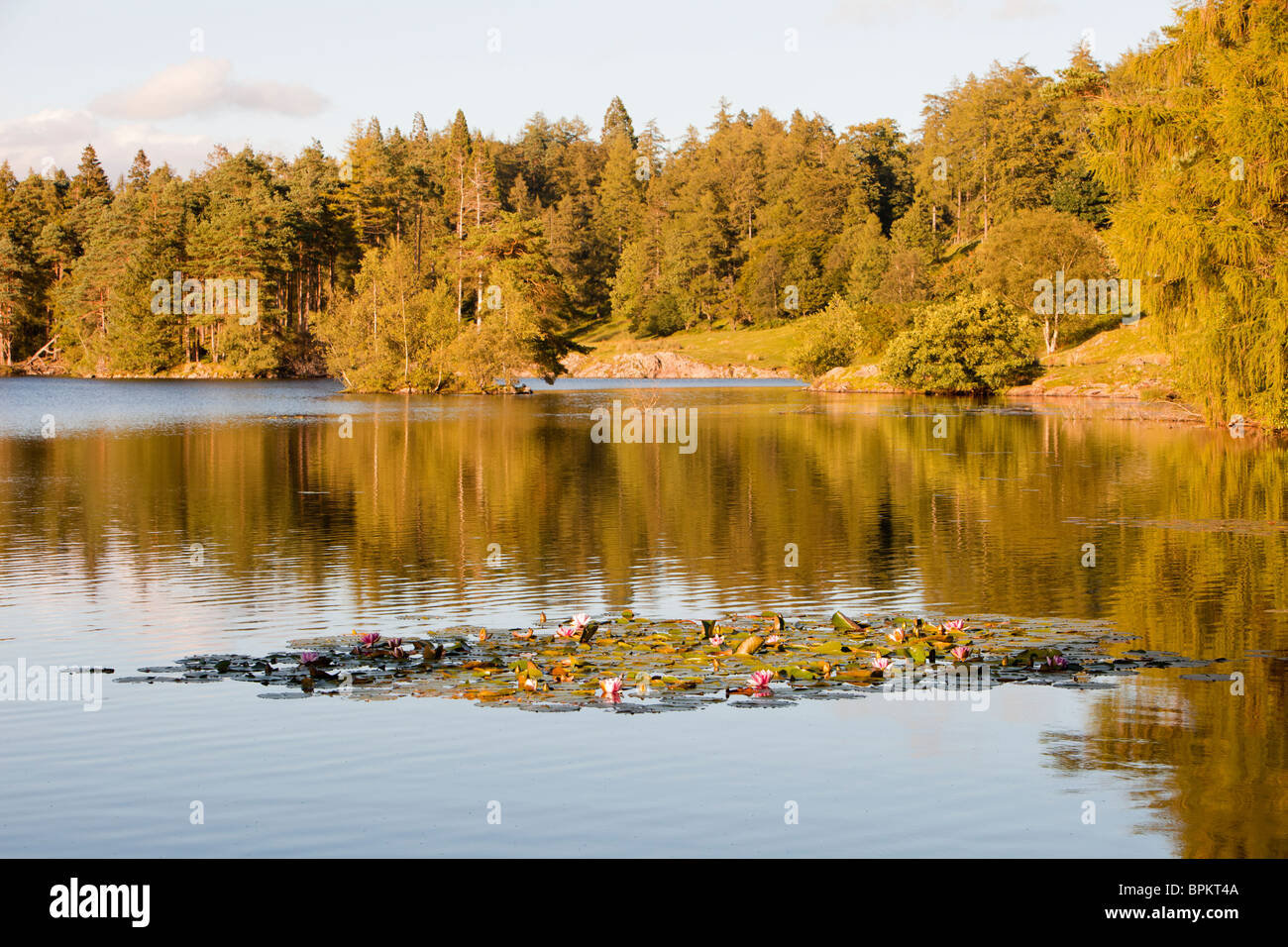 Water lillies on Tarn Hows in the Lake district, UK. - Stock Image