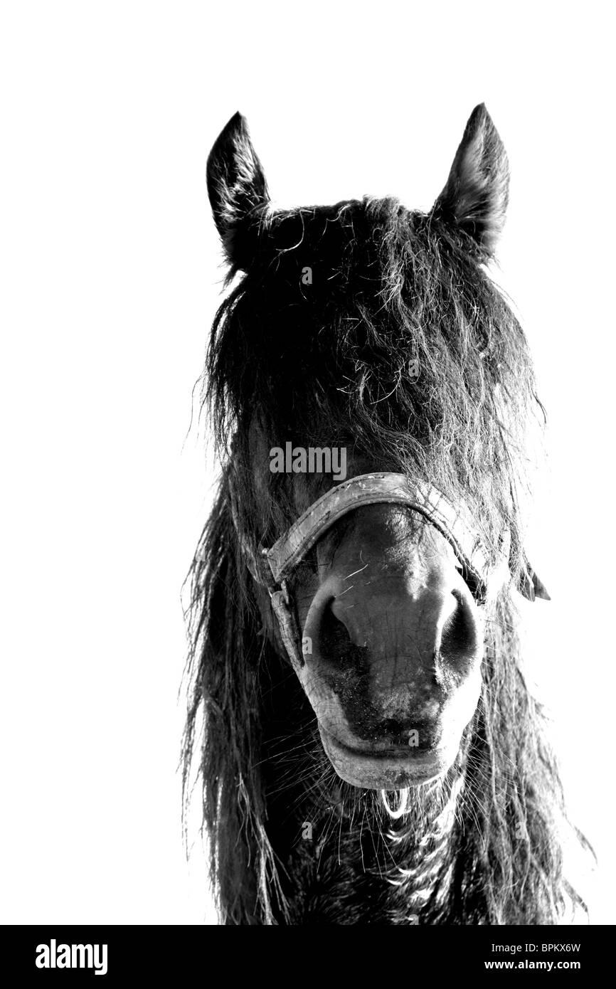 Draft trotter stallion - Stock Image
