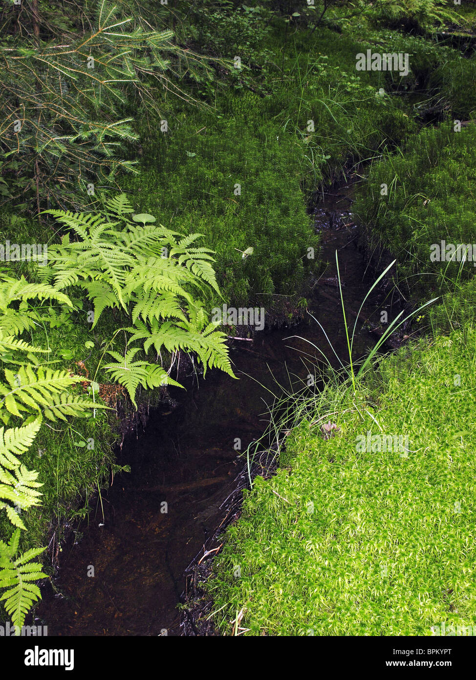 Swampy woods close up. A small stream cuts the way trough lush moss and fern. - Stock Image