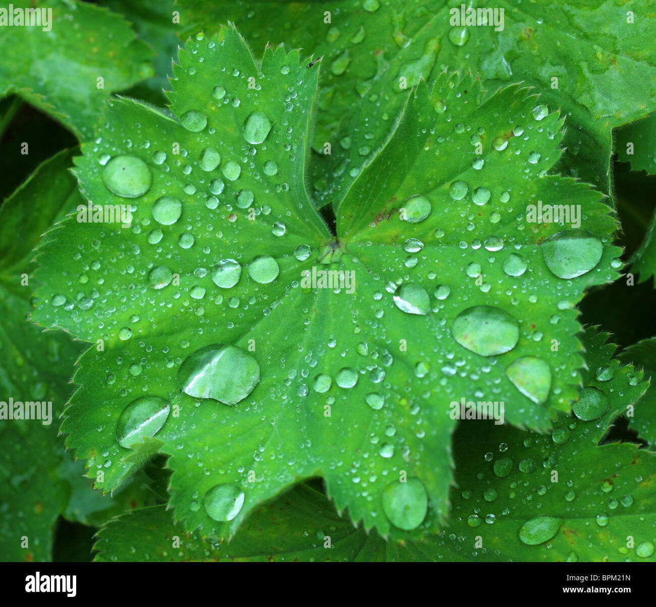 Water droplets on lady'ss mantle fresh green leaf Alchemilla mollis - Stock Image