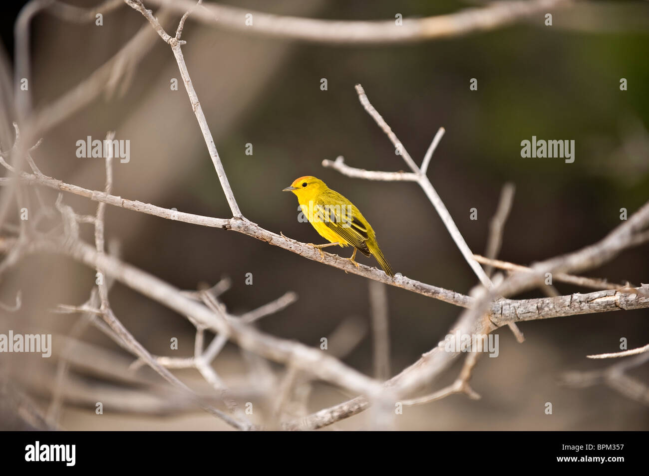 South America, Ecuador, Galapagos Islands, Yellow Warbler, male, perched on branch, Sea Lion Island - Stock Image