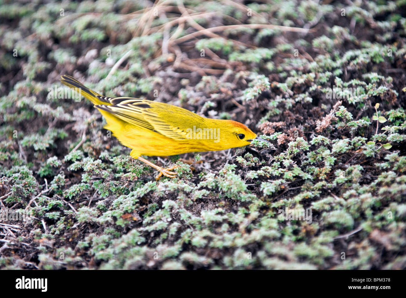 South America, Ecuador, Galapagos Islands, Yellow Warbler, male, feeding in shore vegetation, Genovese Island - Stock Image