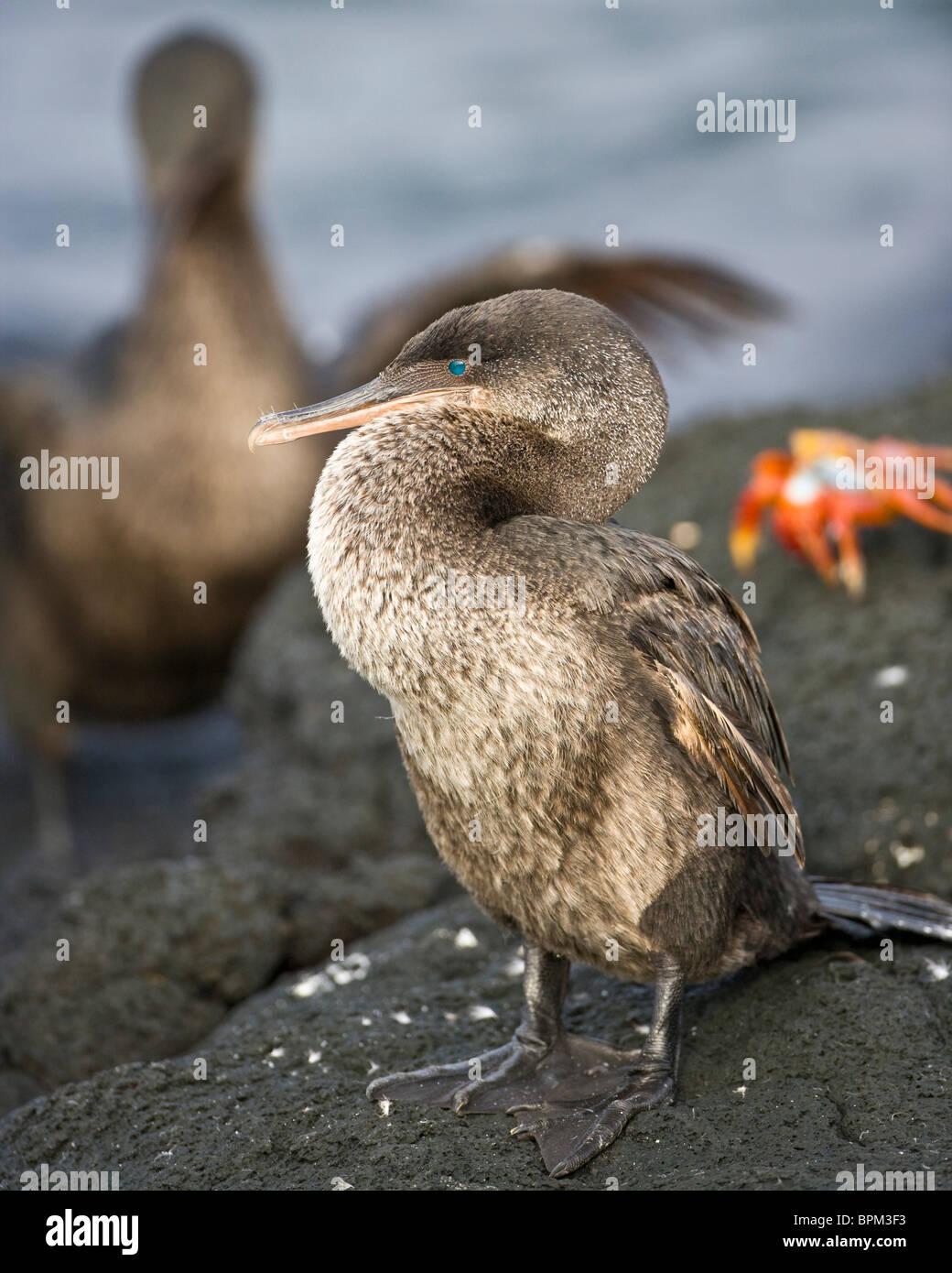 Ecuador. Flightless Cormorant on Fernanadina Island in the Galapagos. - Stock Image