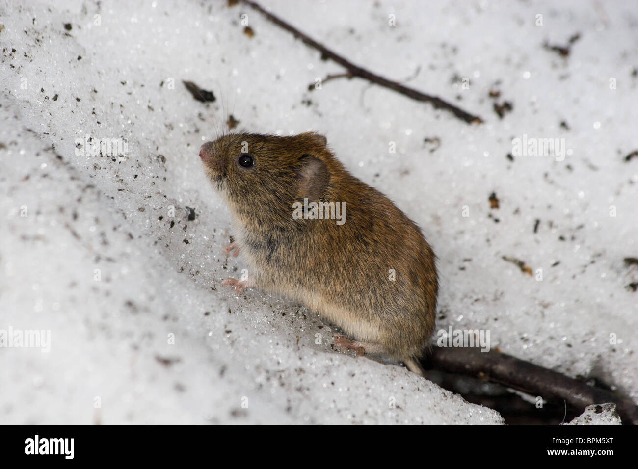 Clethrionomys glareolus, Bank Vole. Nice brown mouse on the earth. A wildlife photo. - Stock Image