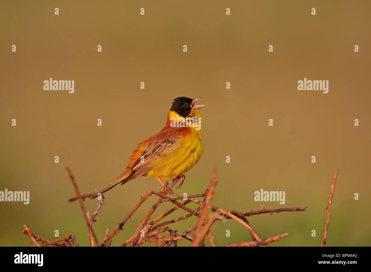 Black-headed Bunting /Emberiza melanocephala/, finches, Fringillidae, male, Bulgaria - Stock Image