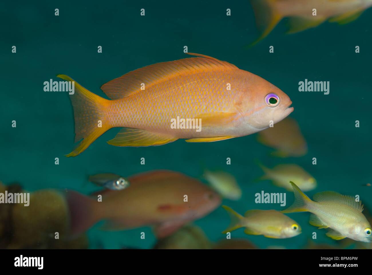 Scalefin anthias, Pseudanthias squamipinnis, Puerto Galera, Philippines, Pacific Ocean - Stock Image