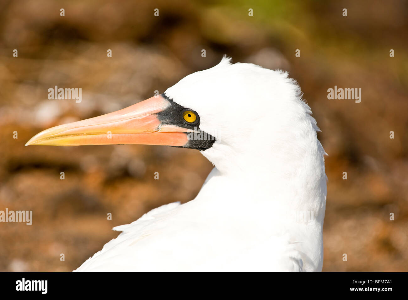South America, Ecuador, Galapagos Islands, Nazca Booby on Genovesa Island,only black and white Booby with an orange - Stock Image