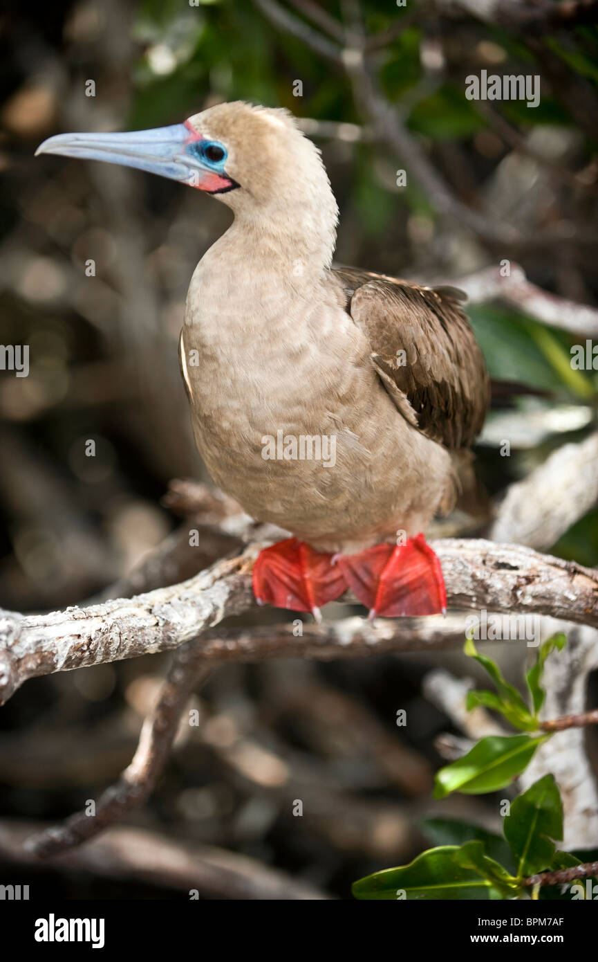 South America, Ecuador, Galapagos Islands, Red-footed Booby, white colour form on Genovesa Island, perched in bush - Stock Image