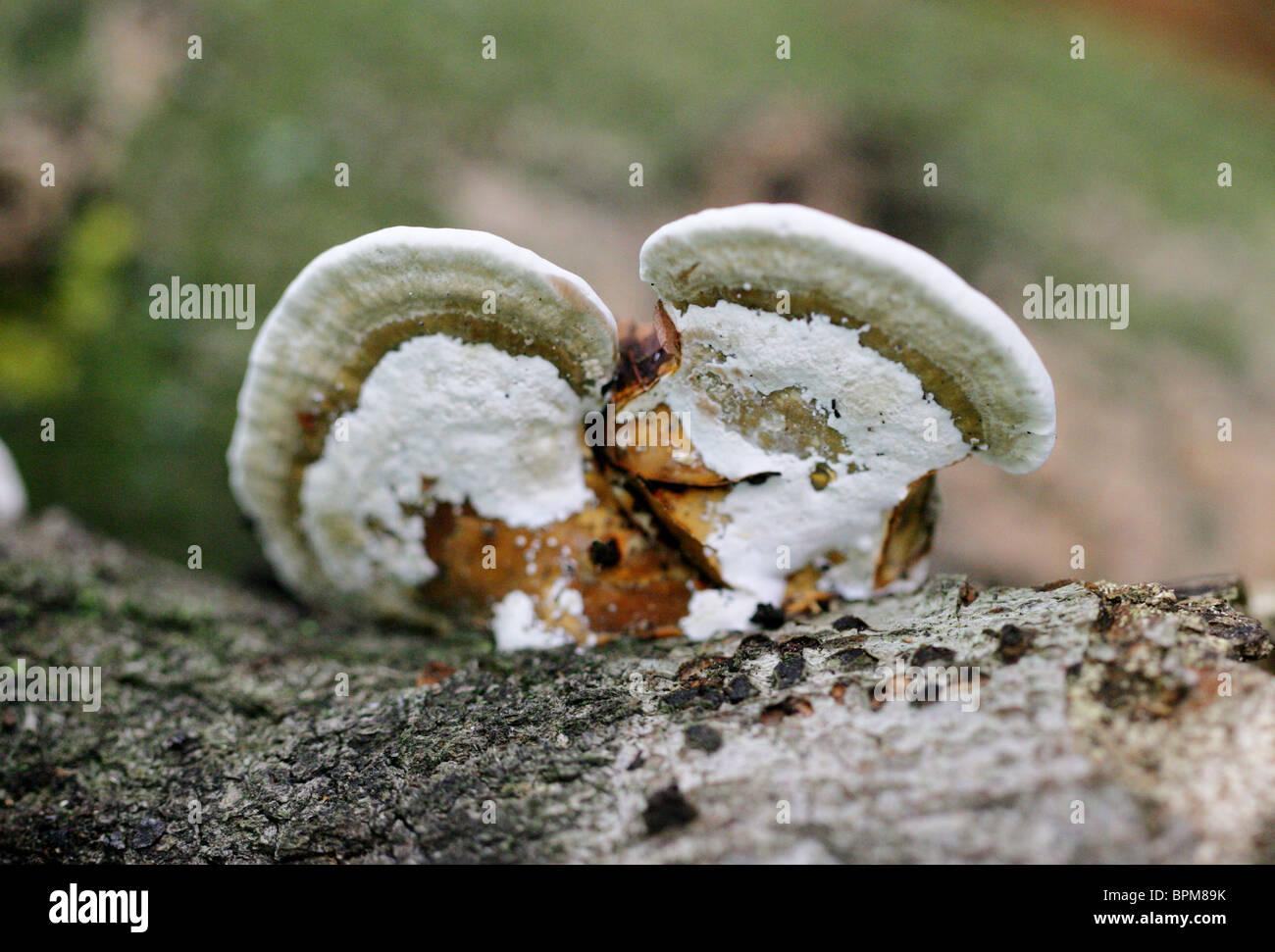Bracket Fungus, Polyporaceae - Stock Image