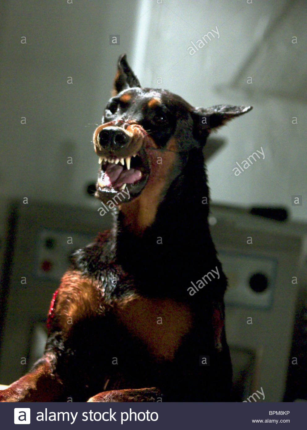 Evil Looking Dog Stock Photos Evil Looking Dog Stock Images Alamy