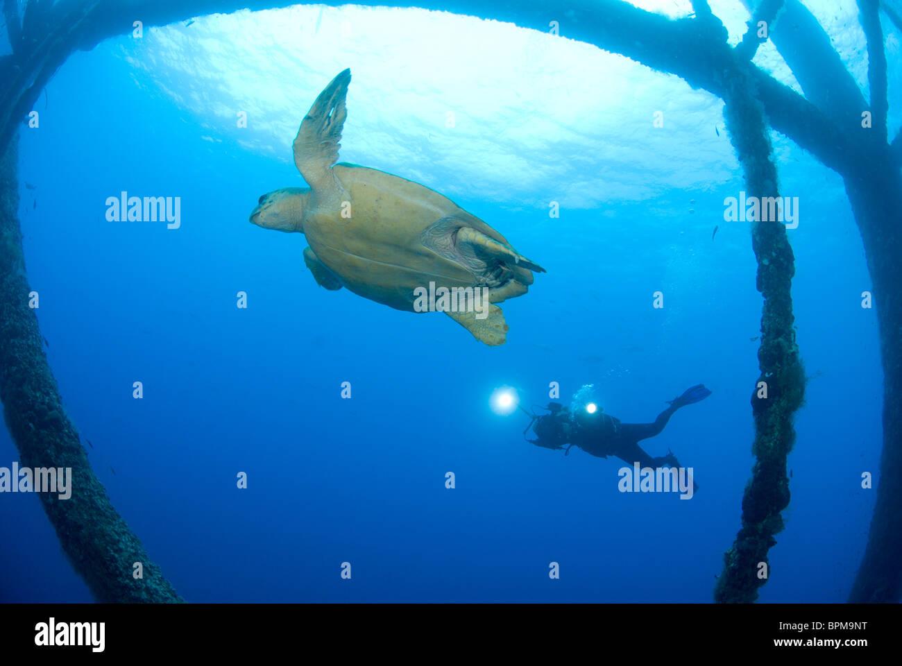 Loggerhead turtle, Caretta caretta, at HI-389 rig near East Flower Garden Bank, Gulf of Mexico Stock Photo