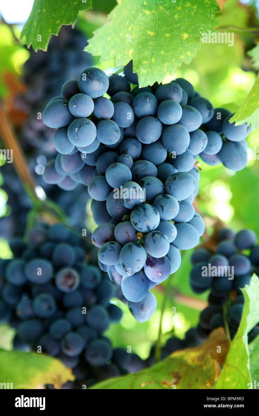 Bunch of blue grapes in a vineyard Stock Photo